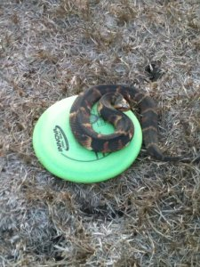disc with snake
